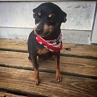Miniature Pinscher Dog for adoption in Russellville, Kentucky - Lennox