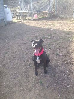 Pit Bull Terrier Mix Dog for adoption in Lewistown, Pennsylvania - Midnight (Raven)
