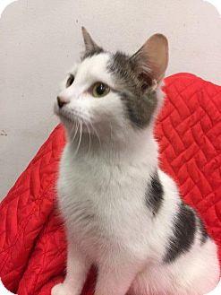 Domestic Shorthair Cat for adoption in Cincinnati, Ohio - clive