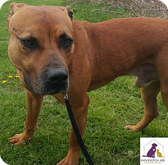 Pit Bull Terrier Mix Dog for adoption in Eighty Four, Pennsylvania - Rex