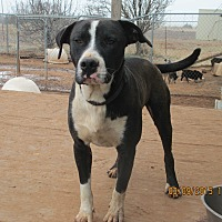 American Staffordshire Terrier Mix Dog for adoption in Anton, Texas - Doc