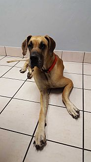 Great Dane Dog for adoption in Broomfield, Colorado - Flaca