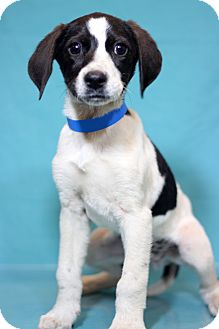 Pointer Mix Puppy for adoption in Waldorf, Maryland - Hershey