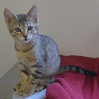 Domestic Mediumhair Kitten for adoption in Manning, South Carolina - Butters