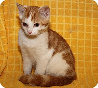 Domestic Shorthair Cat for adoption in Marietta, Ohio - Angelina (Spayed)