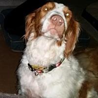 Adopt A Pet :: TX/Bandit - Baton Rouge, LA