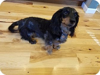 Dachshund Dog for adoption in Milton, Wisconsin - Berkley