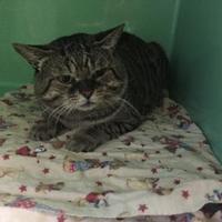 Adopt A Pet :: Tig - Belleville, ON