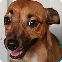 Adopt A Pet :: Scooby - Lexington, KY