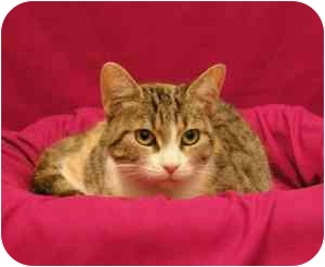 Domestic Shorthair Cat for adoption in Sacramento, California - April