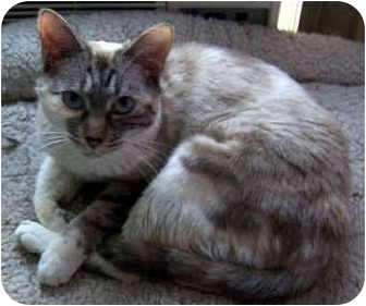 Siamese Cat for adoption in Ardsley, New York - Sam