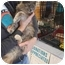 Photo 2 - Domestic Shorthair Kitten for adoption in Tracy, California - Jazzy-ADOPTED