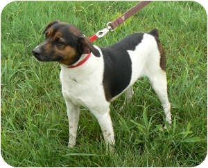 Fox Terrier (Smooth)/Bluetick Coonhound Mix Dog for adoption in St. James, Missouri - Otis