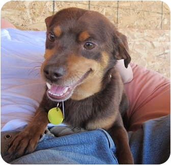 Miniature Pinscher/Dachshund Mix Dog for adoption in Chimayo, New Mexico - Gulliver