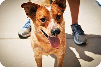 Australian Cattle Dog/Terrier (Unknown Type, Medium) Mix Dog for adoption in Austin, Texas - Roux