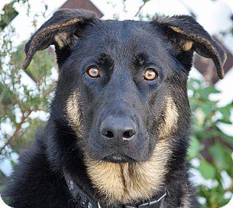 German Shepherd Dog Mix Dog for adoption in Los Angeles, California - Randolph von Rehna