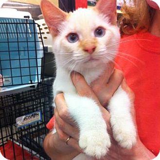 Siamese Kitten for adoption in Pittstown, New Jersey - Hawk
