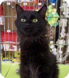 Domestic Mediumhair Cat for adoption in Sacramento, California - Blane N