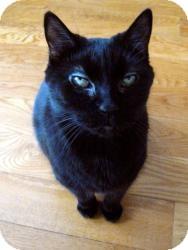 Domestic Shorthair Cat for adoption in Brooklyn, New York - MIDNIGHT