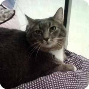 Domestic Mediumhair Cat for adoption in Gilbert, Arizona - Bubby