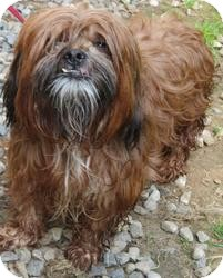 Shih Tzu Mix Dog for adoption in Bloomfield, Connecticut - Bongo Bongo