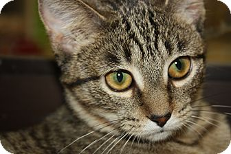 Domestic Shorthair Cat for adoption in Warren, Ohio - Tippy