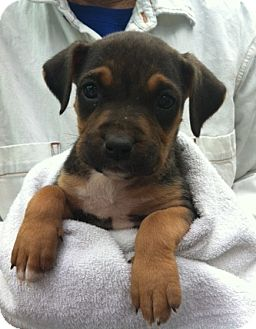 Boxer/Labrador Retriever Mix Puppy for adoption in Nuevo, California - Reese's