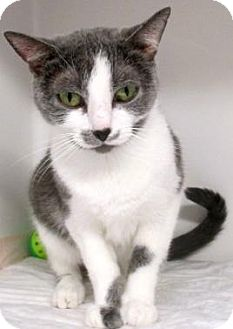 Domestic Shorthair Cat for adoption in Red Bluff, California - PUMPKIN