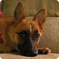 Adopt A Pet :: Foxy - Schenectady, NY