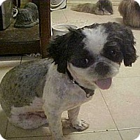 Adopt A Pet :: SCOOBY DOO - Cathedral City, CA