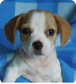Spaniel (Unknown Type)/Beagle Mix Puppy for adoption in Hammonton, New Jersey - Pluto