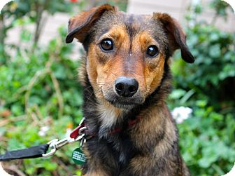 Spaniel (Unknown Type)/Shepherd (Unknown Type) Mix Dog for adoption in Los Angeles, California - Josephine - Costa Rica Rescue