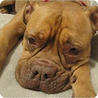 Adopt A Pet :: Bridget Jones - Beachwood, OH