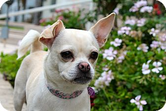 Pug/Chihuahua Mix Dog for adoption in Los Angeles, California - Mido