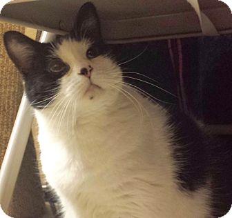 Domestic Shorthair Cat for adoption in Colmar, Pennsylvania - Bettie