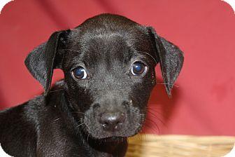 Labrador Retriever Mix Puppy for adoption in Waldorf, Maryland - Katerina