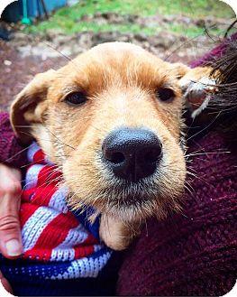 Labrador Retriever/Terrier (Unknown Type, Medium) Mix Puppy for adoption in Eugene, Oregon - Dawn