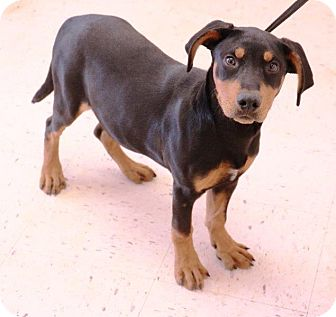 Black and Tan Coonhound/Doberman Pinscher Mix Puppy for adoption in McDonough, Georgia - Eugene