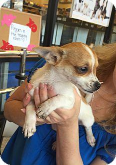 Chihuahua Puppy for adoption in New Braunfels, Texas - Kiah