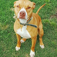 American Pit Bull Terrier Mix Dog for adoption in Joshua, Texas - Myrtyl