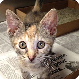 Domestic Shorthair Kitten for adoption in East Brunswick, New Jersey - Tiffany