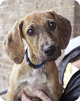 Terrier (Unknown Type, Small)/Hound (Unknown Type) Mix Puppy for adoption in Hagerstown, Maryland - Pikelet