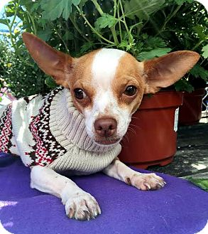 Chihuahua Mix Dog for adoption in Detroit, Michigan - Burton-Adopted!