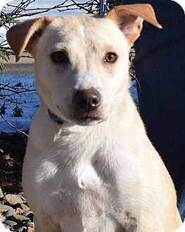 Labrador Retriever/Terrier (Unknown Type, Medium) Mix Puppy for adoption in Minneapolis, Minnesota - Tator