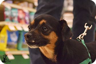 Miniature Pinscher Mix Dog for adoption in Flushing, Michigan - Buster