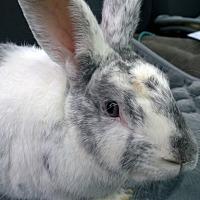 Adopt A Pet :: Frosty - Seattle c/o Kingston 98346/ Washington State, WA