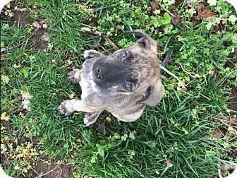 Chihuahua/Boston Terrier Mix Puppy for adoption in Russellville, Kentucky - Jeth