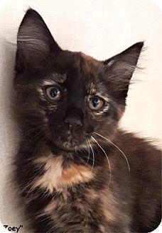 Domestic Shorthair Kitten for adoption in Key Largo, Florida - Zoey