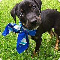 Adopt A Pet :: Zorro - South Dennis, MA