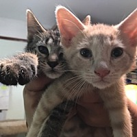 Adopt A Pet :: Pumpkin and Spice - Chicago, IL